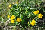 Eng-kabbeleje (Caltha palustris)